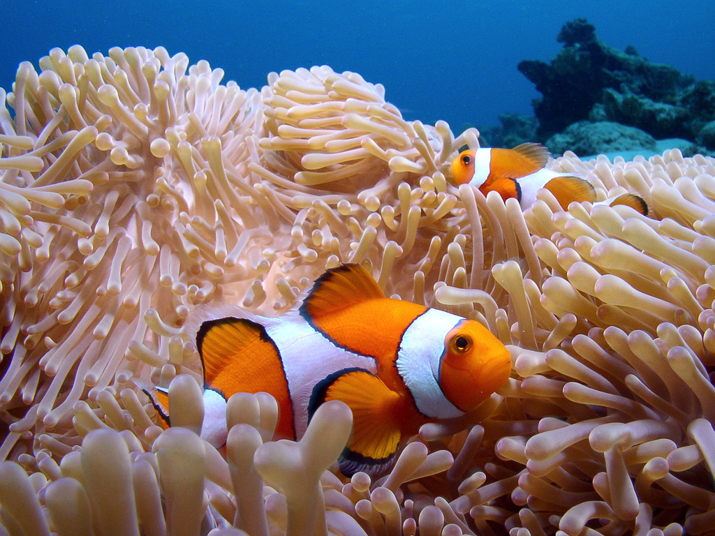 A clown fish in Flic en Flac