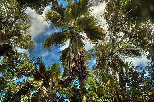 Tall Coco De Mer Palm Trees
