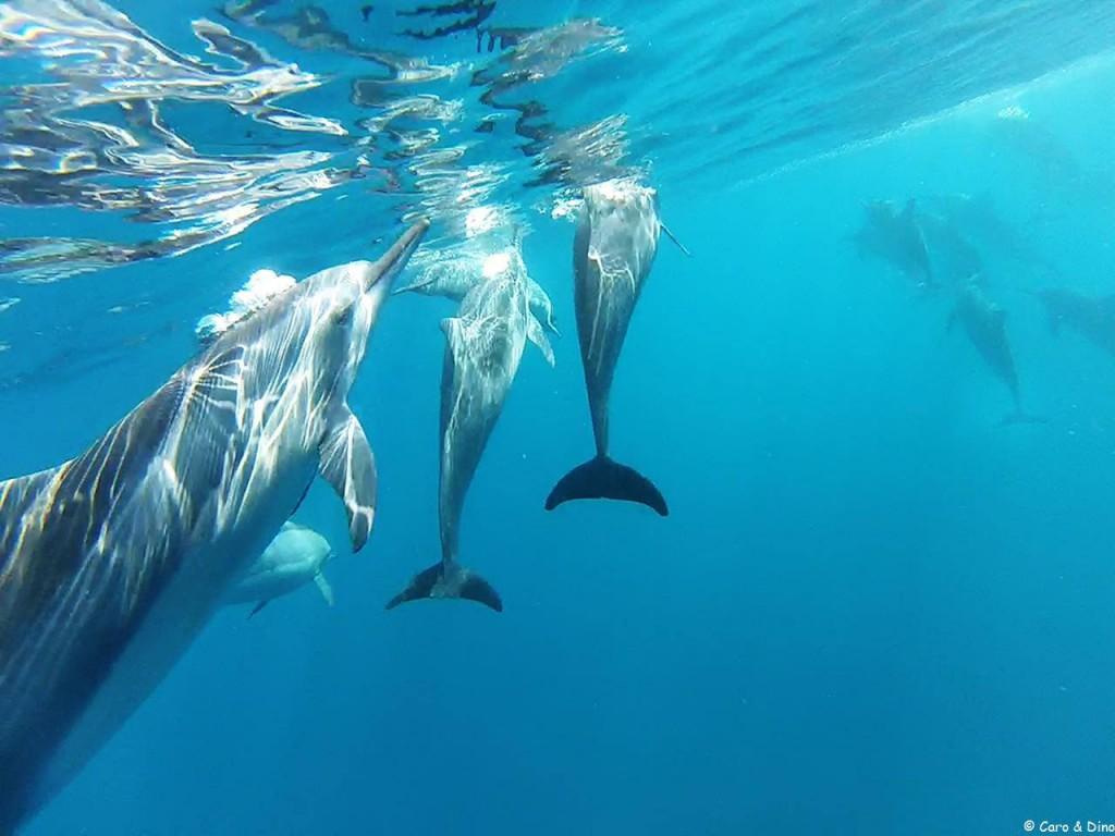 Dauphins Dans Les lagons Mauricien