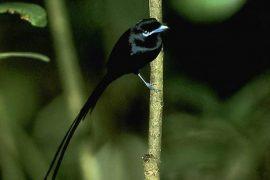 Black paradise FlyCatcher
