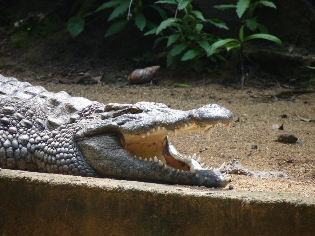 Crocodile à la Vanille Réserve des Mascareignes