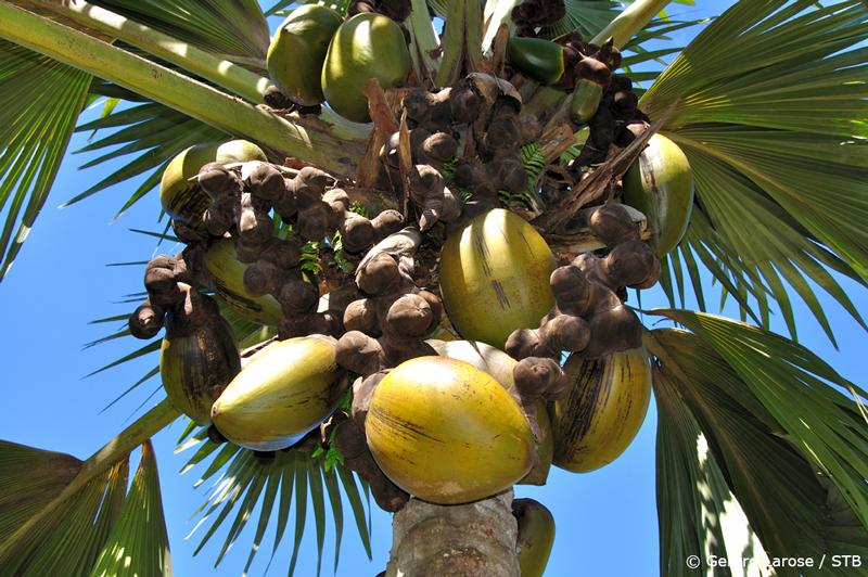 Female-Coco-de-Mer-Nuts