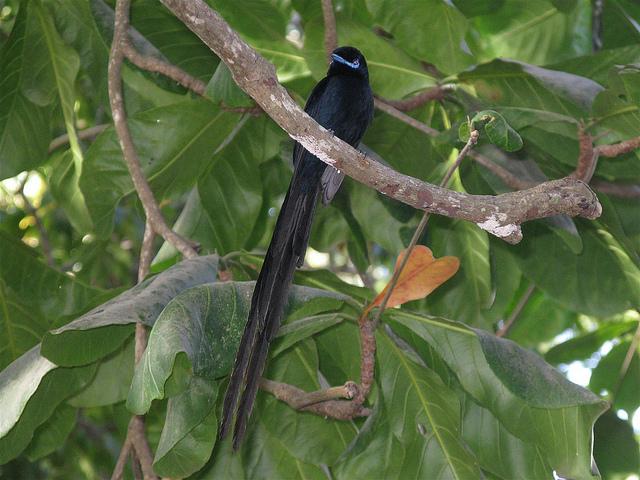La-Veuve-Noir-des-Seychelles