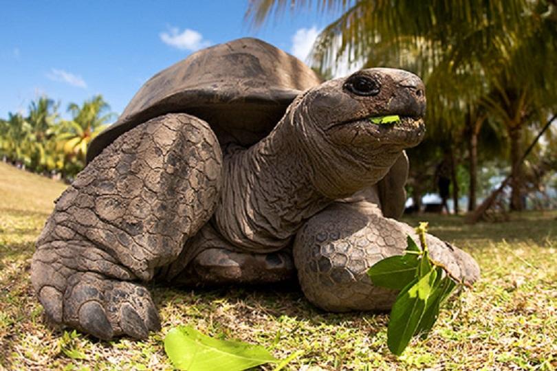 Tortue-D'Aldabra-sur-L'île-Curieuse