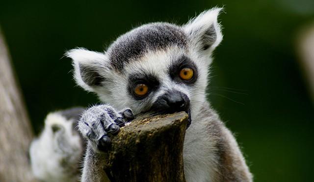 Katta lemur madagascar
