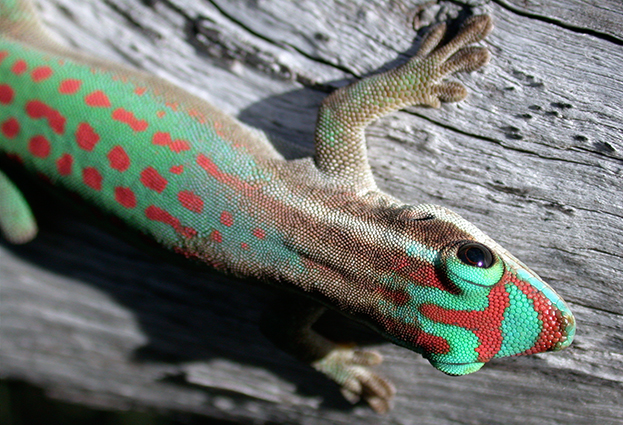 Day gecko Phelsuma ornata