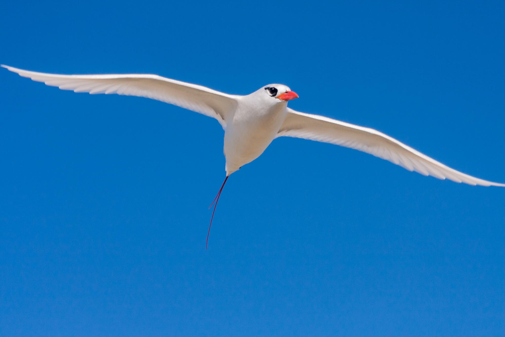 Red-tailed Tropicbird mauritius