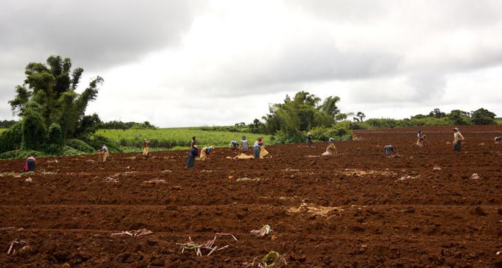 Sugar cane plantation Mauritius