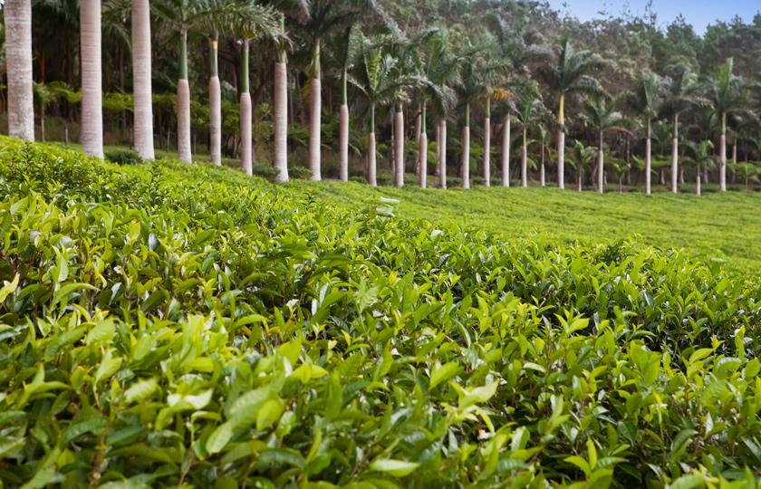 Tea plantation Mauritius