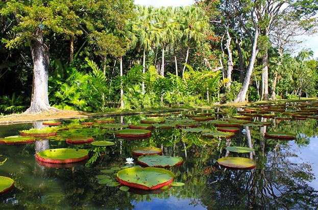 Waterlilis Mauritius