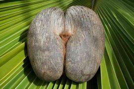 Coco-de-Mer-natural