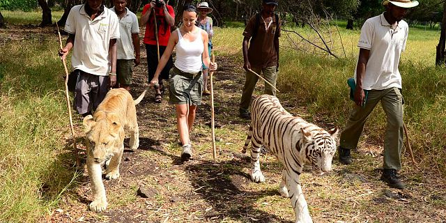 Mauritius attractions: Walking with lions at Casela