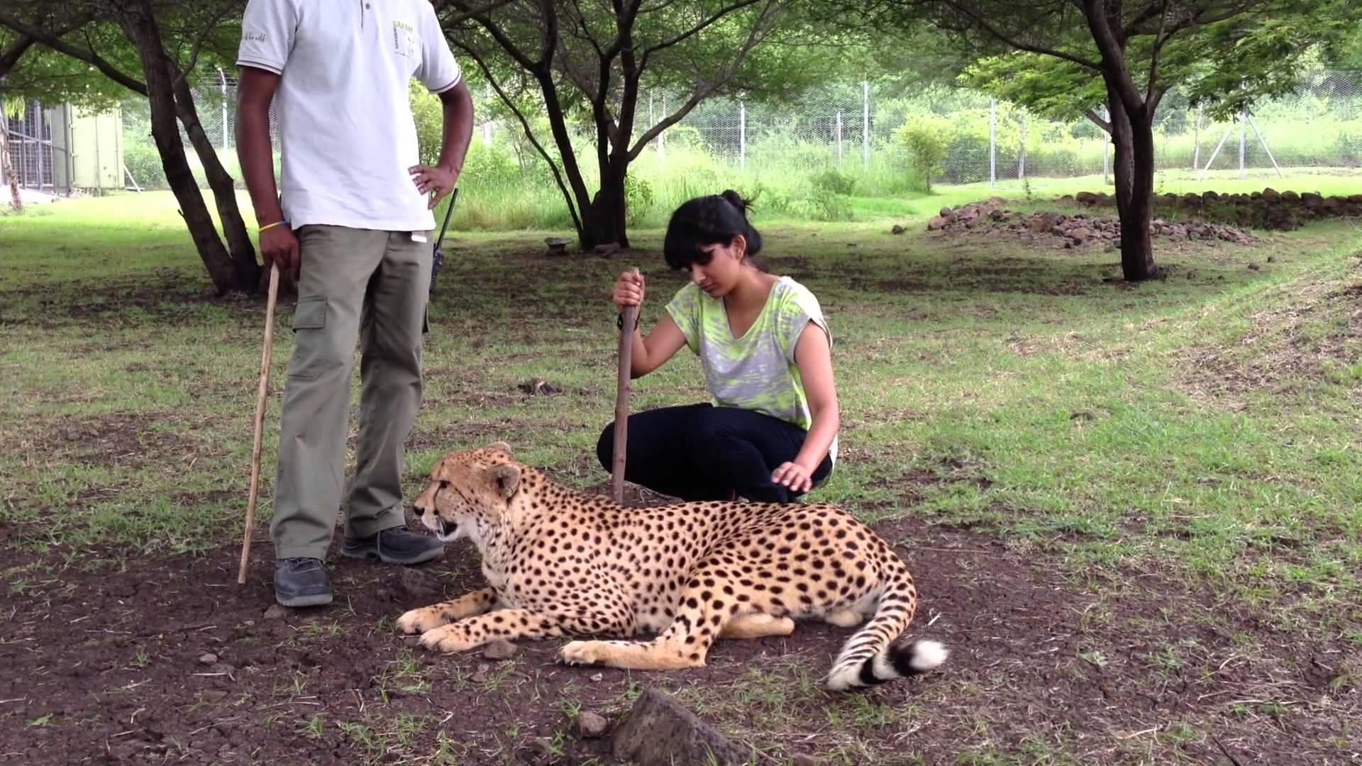 Mauritius attractions: Cheetah at Casela