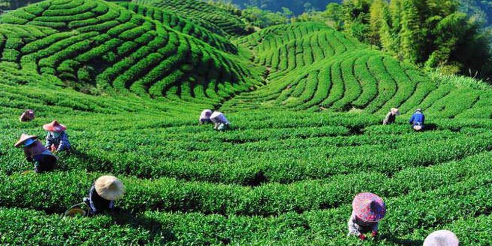 tea route mauritius