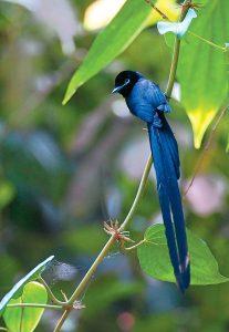 Seychelles Paradise Flycatcher