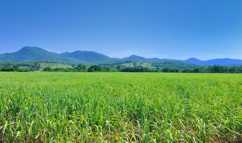 Sugar cane field mauritius
