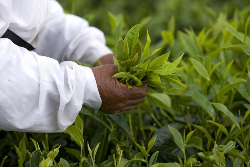 La Route du thé Ile Maurice