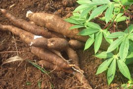 Cassava-Face-Mask-Benefits-for-Healthy-Skin-2