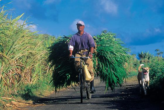 mauritius sugar cane