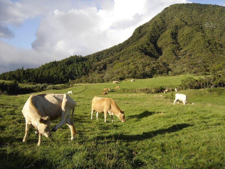 vaches-plaine-des-cafres