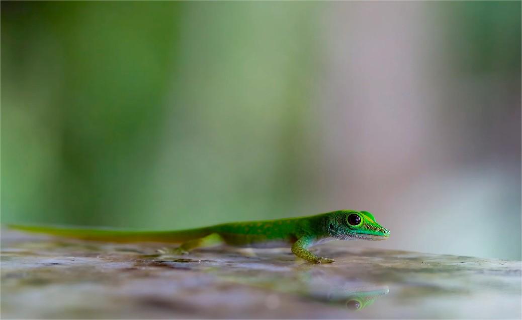 Praslin Gecko