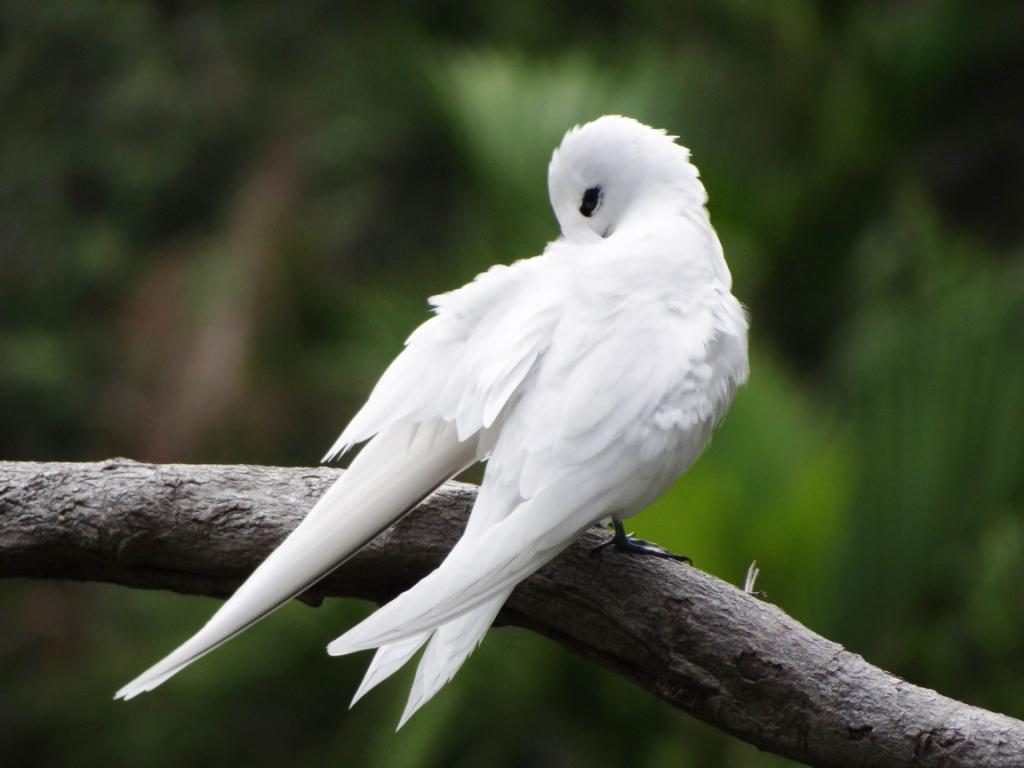 Seychelles white tern