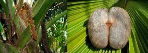 coco fess