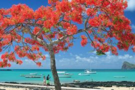 flamboyant mauritius
